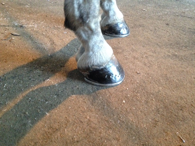 healthy-shoed-horse-hoof