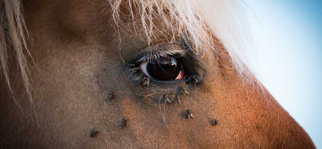 Flies Away from Your Horse